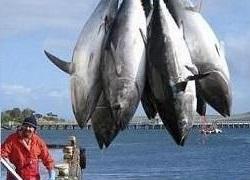 Óvatossan a tonhallal! A fehér tonhal (germon) szennyezettsége az alig kimutathatótól a megengedett határérték négyszereséig (0,5 ppm) is terjedhet.