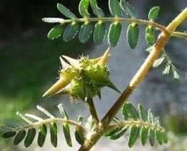 A bolgár tribulus terrestris gyümölcs éretten, a nyár közepén
